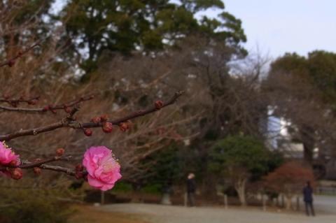 二の丸広場の紅梅の花