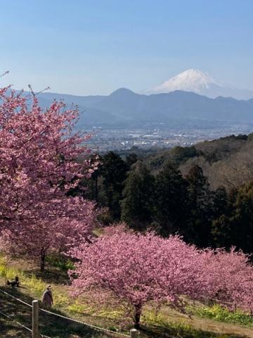 おおいゆめの里の河津桜と富士山