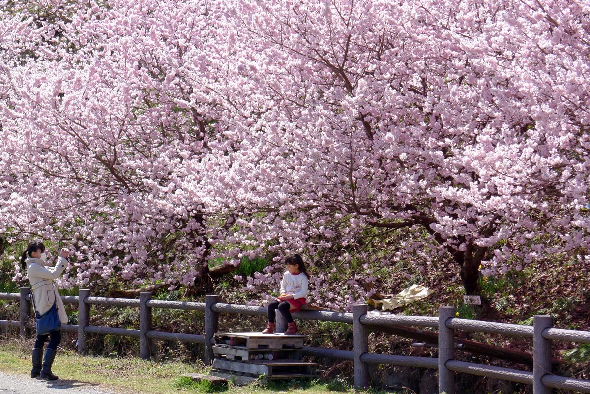 南足柄スナップ 春めき桜を背景に写真を撮る親子