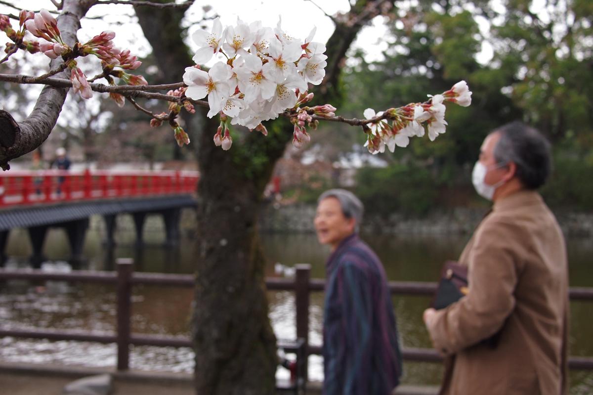 歩きながら開花した桜を見やる人