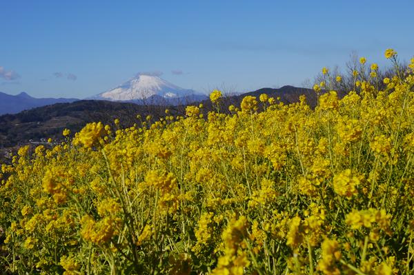 二宮吾妻山公園の菜の花と富士山