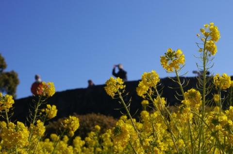 二宮吾妻山公園の菜の花