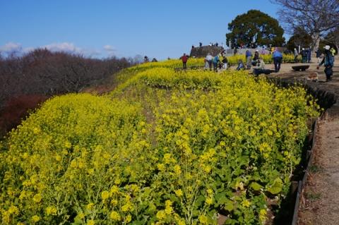 二宮吾妻山公園の満開の菜の花