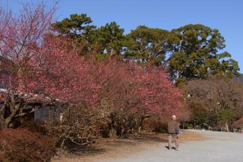 小田原城址公園二の丸広場の紅梅