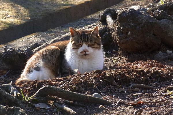 日光浴をする公園猫