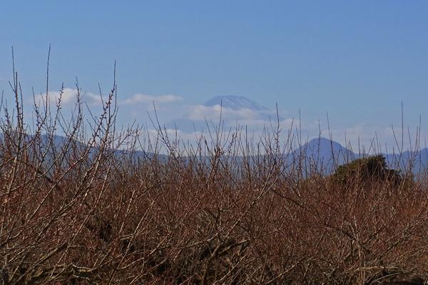 曽我梅林から望む雪の少ない富士山
