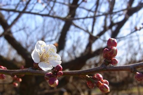 曽我梅林の咲き始めた梅