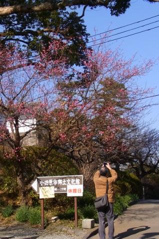 小田原城址公園郷土文化館前の紅梅