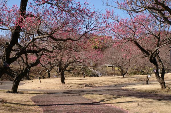 小田原フラワーガーデンの早咲き紅梅