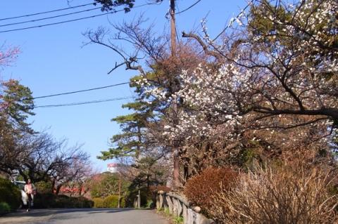 小田原城址公園郷土文化館前の白梅