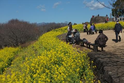 二宮吾妻山公園の菜の花畑
