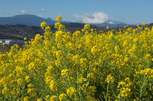 二宮吾妻山公園の菜の花畑と富士山