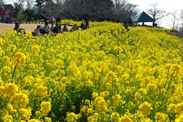 二宮吾妻山公園菜の花見物の人々