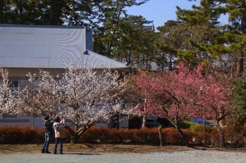 小田原城址公園二の丸広場の梅