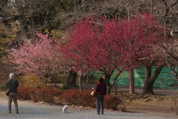 梅の花色々