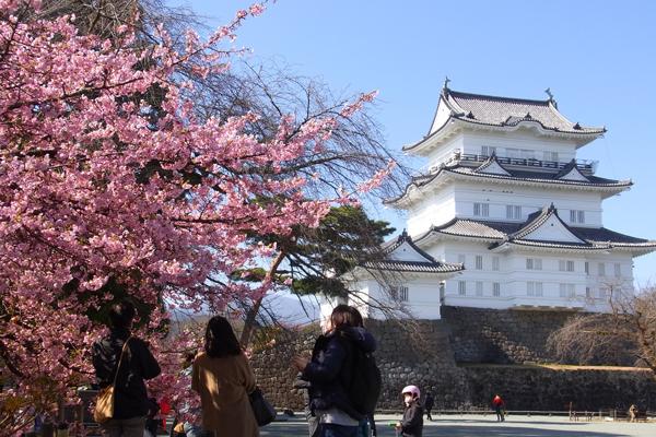 小田原城と河津桜