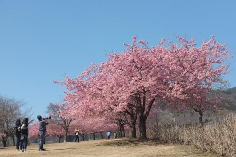 戸川公園青空を背景にした河津桜
