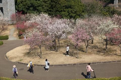戸川公園の梅の花