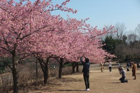 戸川公園で河津桜を撮影する人々