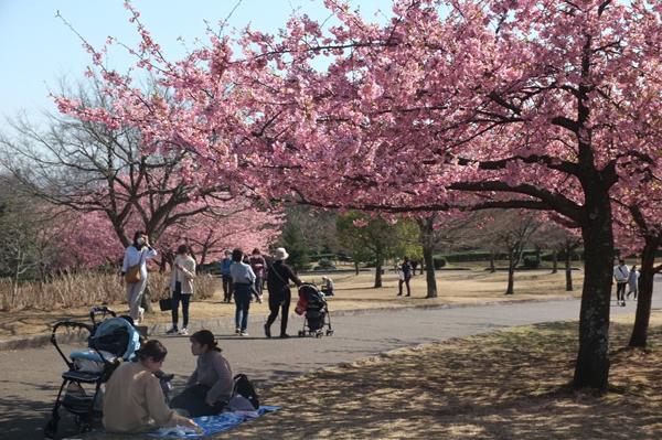 秦野戸川公園の河津桜
