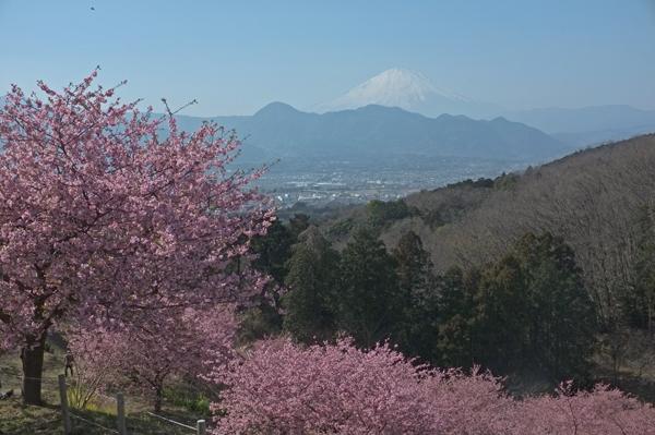 おおいゆめの里の富士山と河津桜