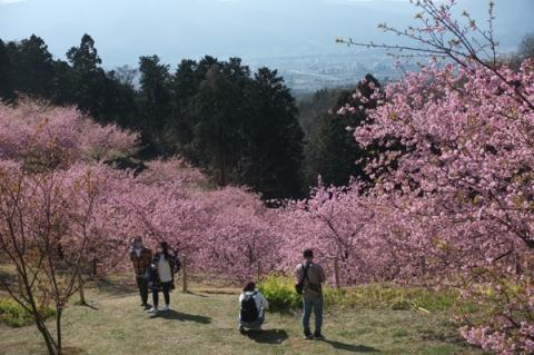 おおいゆめの里の河津桜