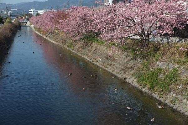南足柄洞川の河津桜