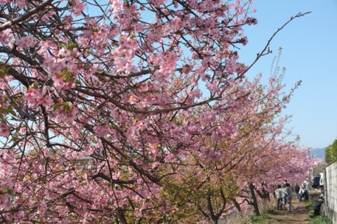 洞川沿いの河津桜