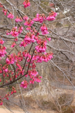 小田原城常盤木門手前の寒緋桜