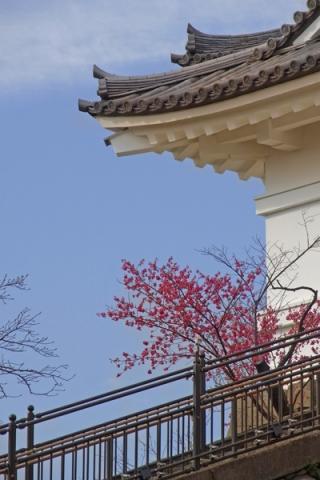 小田原城天守閣の寒緋桜