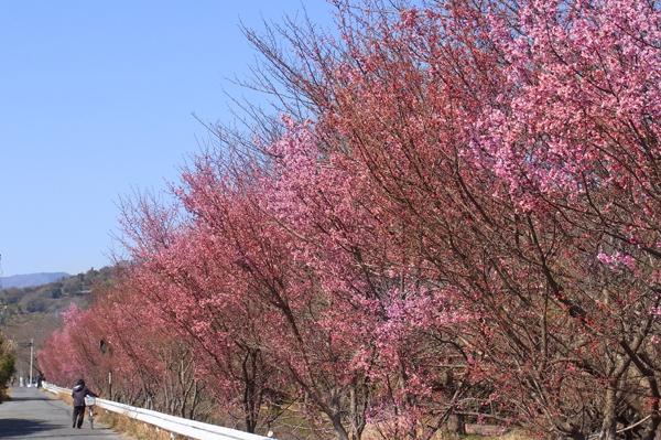 小田原市田島のおかめ桜