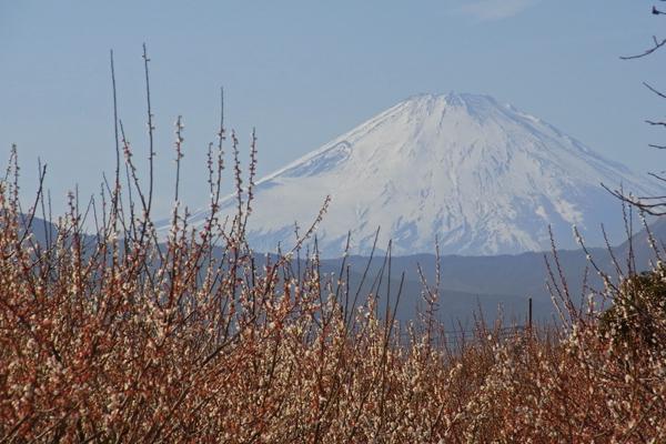 曽我梅林の梅と富士山
