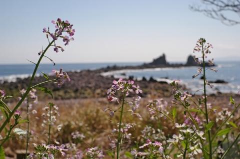 真鶴岬のハマダイコン