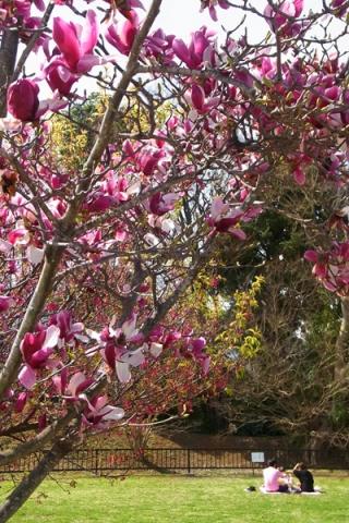 丸山城址公園のモクレンの花