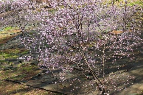 丸山城址公園のアーモンドの木