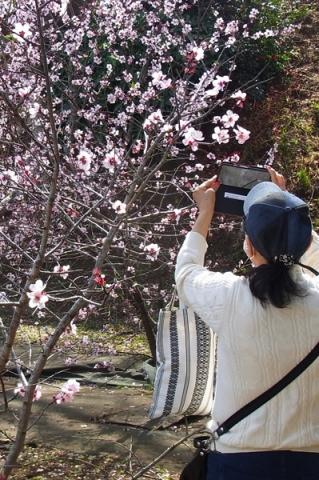 アーモンドの花を撮る女性