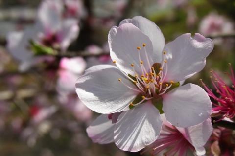 アーモンドの花アップ