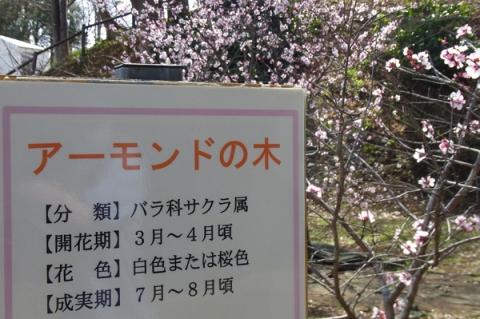 丸山城址公園のアーモンドの花