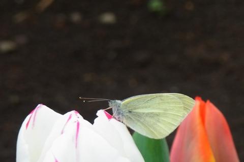 チューリップにとまった蝶々