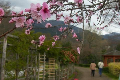 戸川公園のモモの花