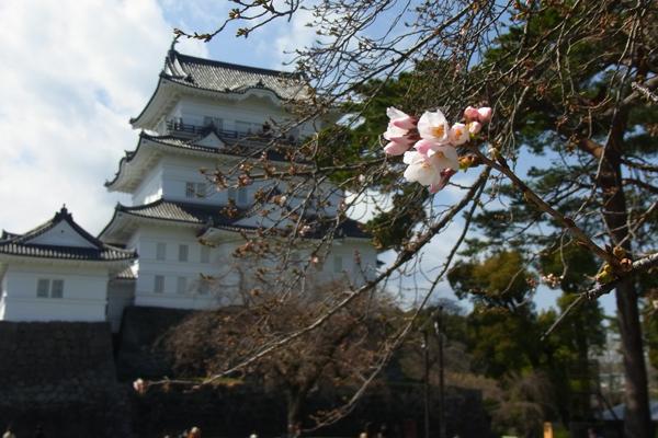 小田原城と桜の開花