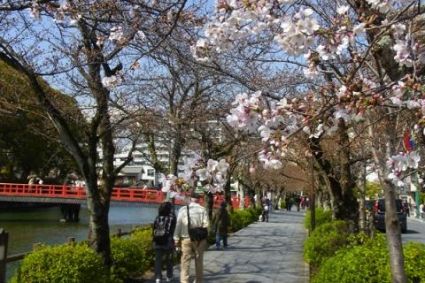 お堀端通りの桜の開花
