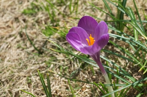 クロッカス紫色の花