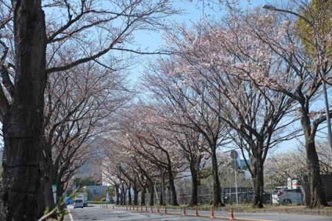 小田原フラワーガーデン前の桜並木
