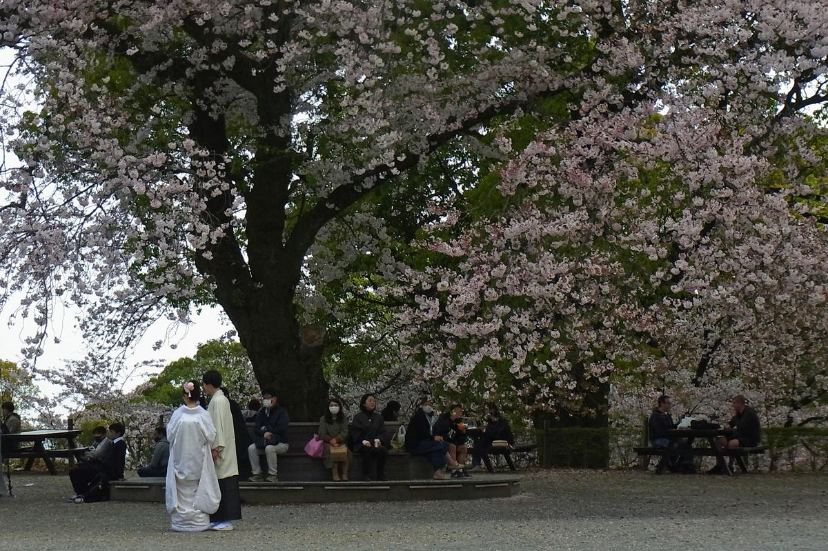 小田原スナップ 満開の桜と新婚さん