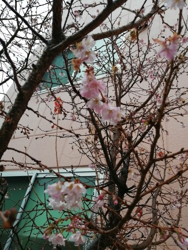おりおの寒桜ブログ用