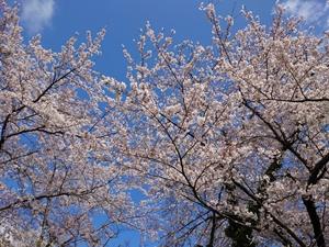 シャトーの桜1