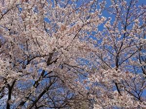 シャトーの桜2