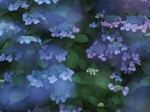 梅雨は紫陽花