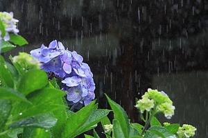 梅空の紫陽花